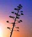 agave flower silhouette