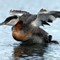 red-necked grebe rearing up