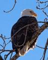 Backlit Bald Eagle
