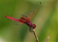 pink dragonFly basking in Sunset