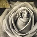 Rose_in Sepia