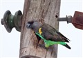 Brown Parrot defending its nest hole in a telegraph pole