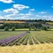 Lavender harvest: Just finishing the last rows