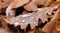 Oak & drops