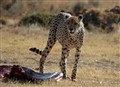 Cheetah protecting kill