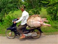 Pig Ride to Market