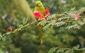 Migrant,rose -ringed parakeet,winter visitor,to Salt lake Park,K