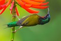 Fork-tailed Sunbird On Ivory Coral Tree