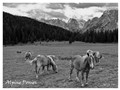 Alpine Ponies - White Border sm