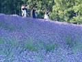 Tomita Farm, Furano