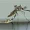 Emerging Mosquito 2