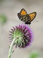 Regal Fritillary on a Thistle