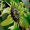 Passionflower – Version 2