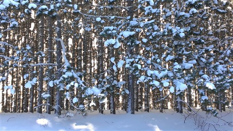 Lodgepole Pine Forest in Winter