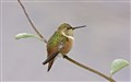 Rufous Hummingbird_3724enh_crop