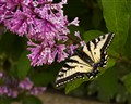 Butterfly on a lilac