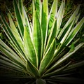 Yucca-like plant