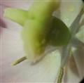 pink tulip 8