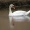 3-22-14 wildwing swan #40 (1 of 1)