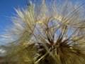 Large Dandelion Puffball