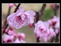 Double Cherry Plum blossom
