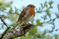 European Robin, Strata Florida, Wales, April 2018 (happened to be our 39th wedding anniversary)