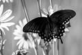 Black Butterfly in Yellow Flowers