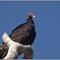 CR vultures_10
