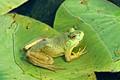 Green Frog Smiling