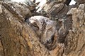 Scop's Owl in Hiding