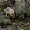 Cyote Hunt