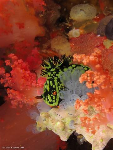 Nudibranch - Malapascua, Philippines