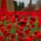 1000 poppies2