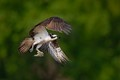Osprey takes off with a fish