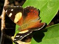 Butterfly: Yellow Admiral