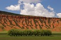 A row of trees  in a field on the Orchard Ranch, with the red sandstone cliffs of the Upper No Wood River, SE Big Horn Basin, Wyoming, USA.