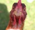 Chicken Funny Face