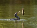 Double-crested cormorant tossing a catfish
