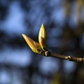 Big Leaf Maple Buds