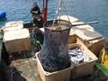 Seabass harvest
