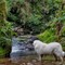 Lilly pyrenean  mountain dog at waterfall: Shot with the 3x zoom (80 mm eqv) of my mobile phone...