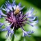 Cornflower and bee: Taken in our backyard this summer