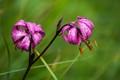 Turk's cap lily (Lilium martagon)