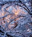 Snow Tree: From the Inside Out