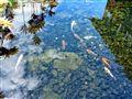 Koi Pond on the Big Island of Hawaii