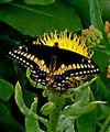 Black Swallowtail on yellow flower