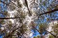 Pine forest (Botanical Garden of Brasília, Brazil)