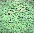 Clover ball, Muir Woods, California