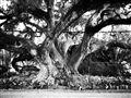 Spawling Oak