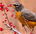 Robin in Decidious holly